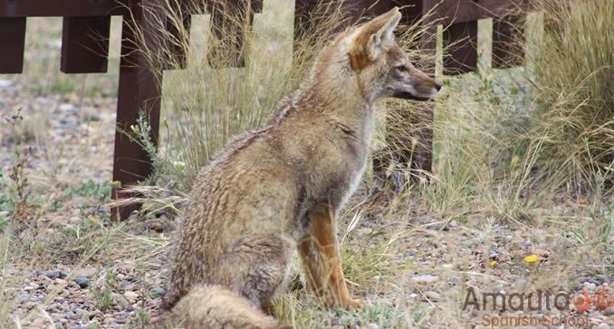 An Austral Fox on Peninsula Valdes in Argentina.
