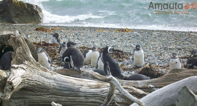 Magellanic Penguins to be seen on a trip through Patagonia.