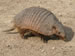 An armadillo on Peninsula Valdes