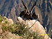 Andean condors in Colca Canyon