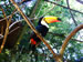 Tucan in Iguazu National Park